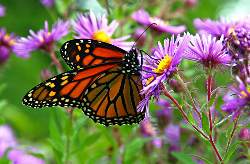 800px-Monarch_butterfly_-_Butterfly_Place_in_Westford,_Massachusetts_(2)