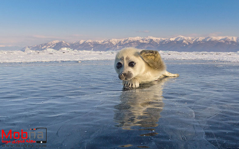 cute-baby-seal-waves-photographer-alexy-trofimov-russia-09