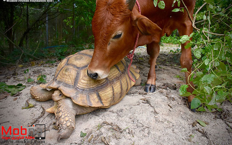giant-tortoise-baby-cow-friendship-3