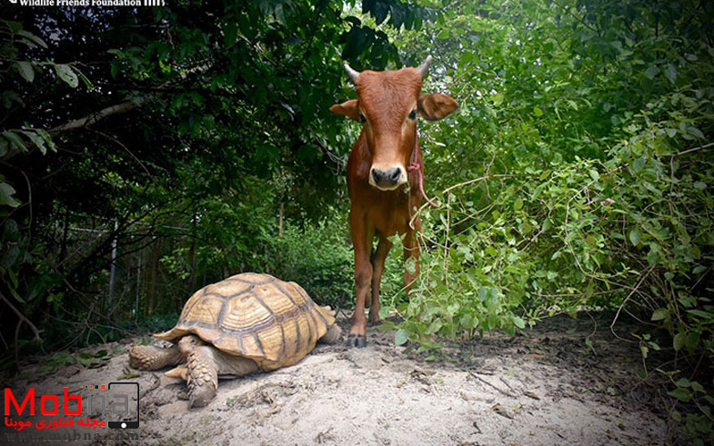 giant-tortoise-baby-cow-friendship-4