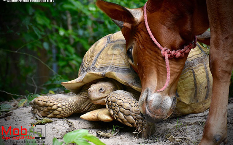 giant-tortoise-baby-cow-friendship-7