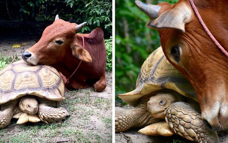 giant-tortoise-baby-cow-friendship-fb2__700-png
