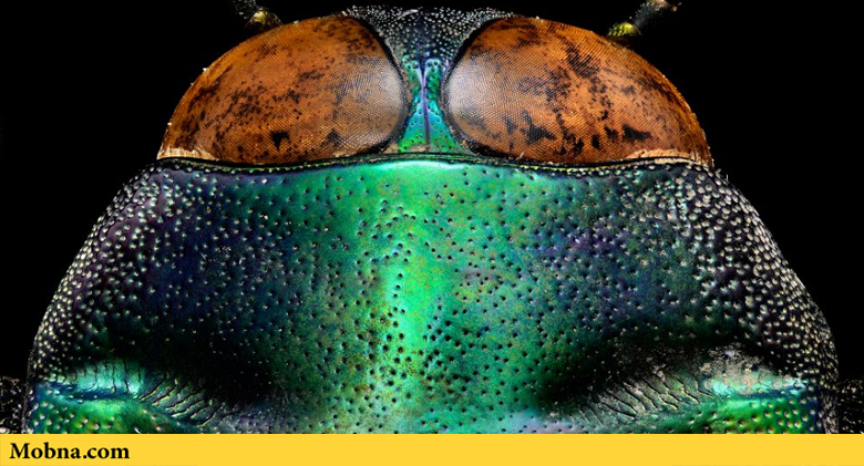 ۲۸-tricolored-jewel-beetle-the-coolist-macro-photography